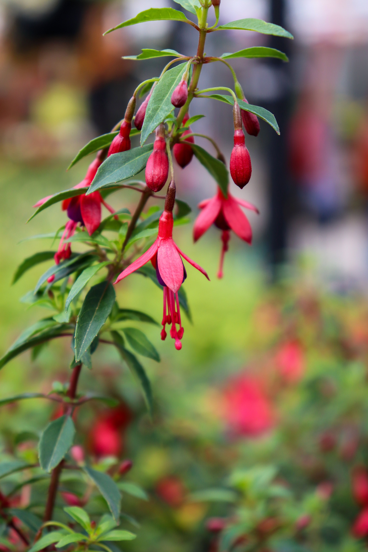 Hardy fuchsia perennials plant care hardy