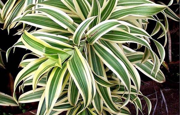 Dracena piante da appartamento perfette anche in bagno piante pinterest piante da - Piante da bagno ...