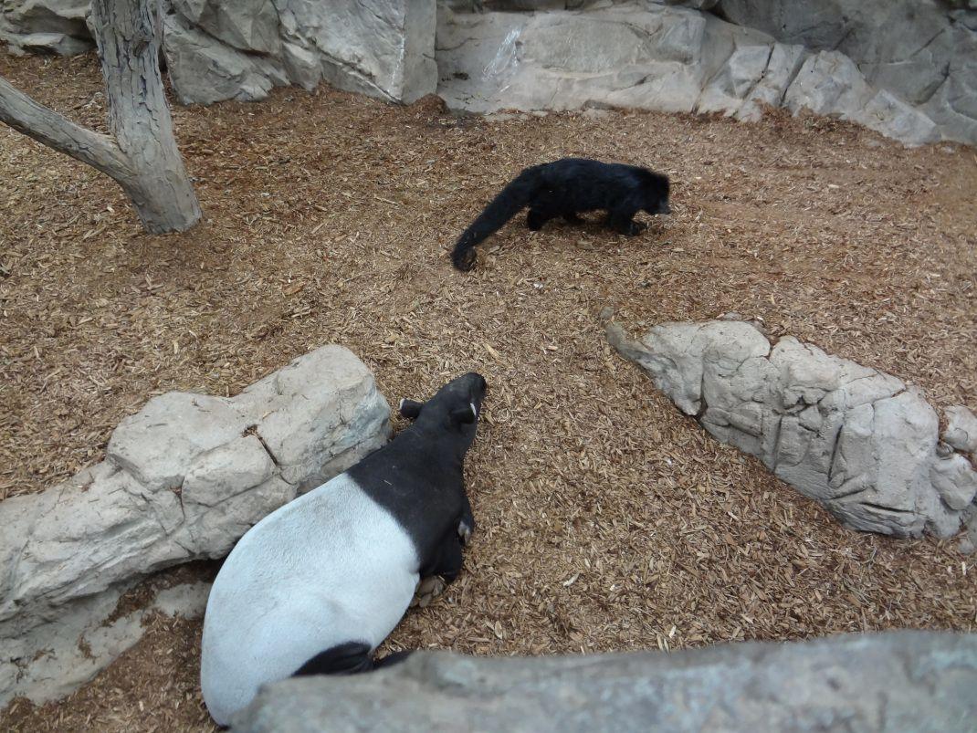 Tapir And Bearcat Tapir Binturong Animals