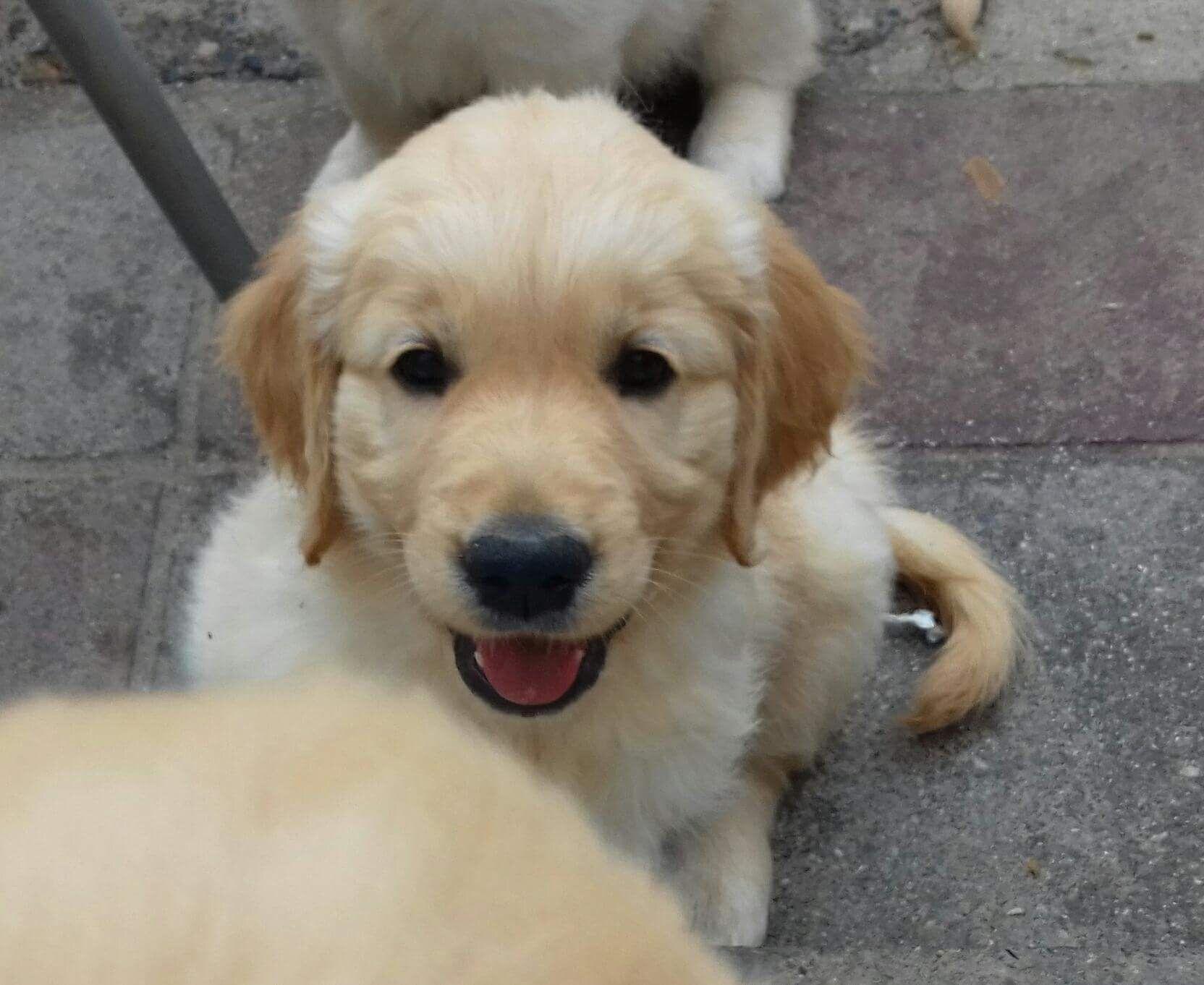 8 Week Old Golden Retriever Puppy Female So Cute Cute Dogs