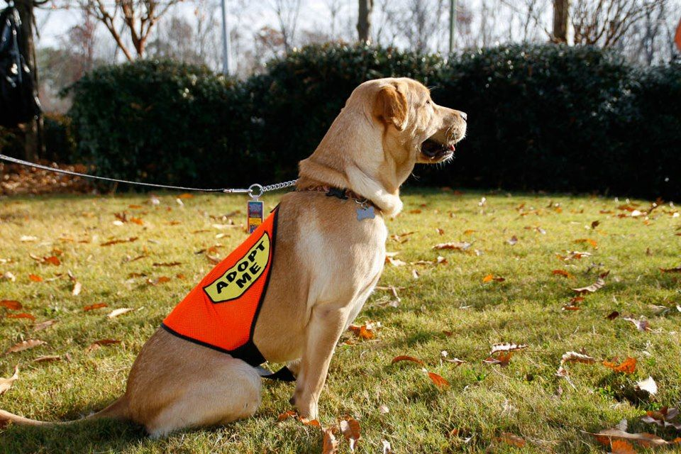 """All available Labs wear """"Adopt Me"""" capes! Adoption day"""