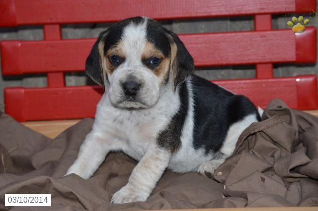 Beagle Puppy For Sale Beagle Puppies Beagle Puppy Beagle Puppies