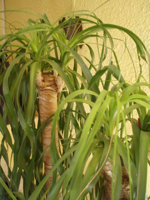 Non toxique beaucarn a pied d 39 l phant plantes vertes et fleurs pinterest meilleures - Plante verte appelee pied d elephant ...