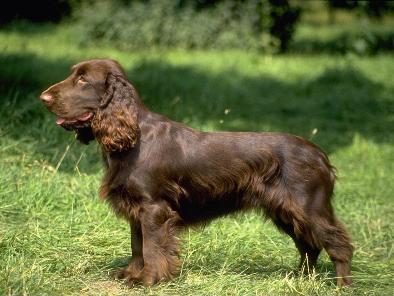 Brown English Cocker Spaniel Field Spaniel Dog Breeds Spaniel