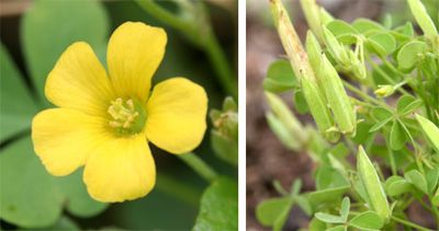 Common yellow woodsorrel has yellow flowers with five petals which common yellow woodsorrel has yellow flowers with five petals which are followed by erect seed mightylinksfo