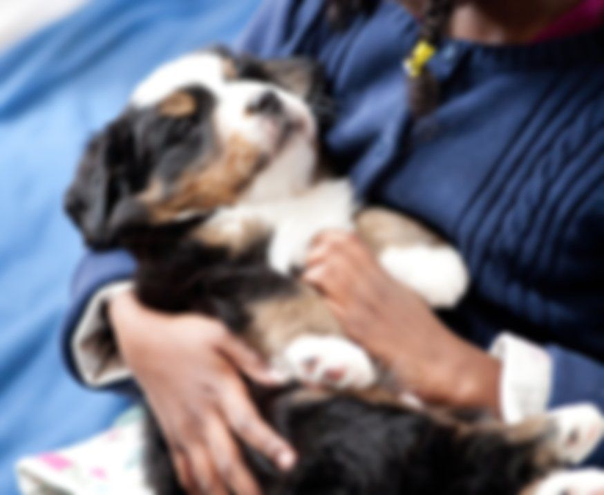 Stick House Bernese Mountain Dogs For Sale New Hampshire In 2020 Bernese Mountain Dog Dogs For Sale Mountain Dogs