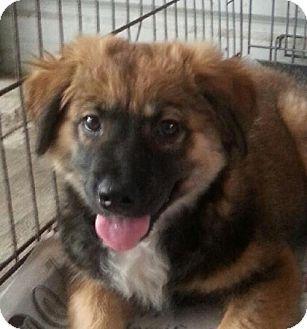 Ringoes Nj Pomeranian Beagle Mix Meet Charlie Brown A Puppy