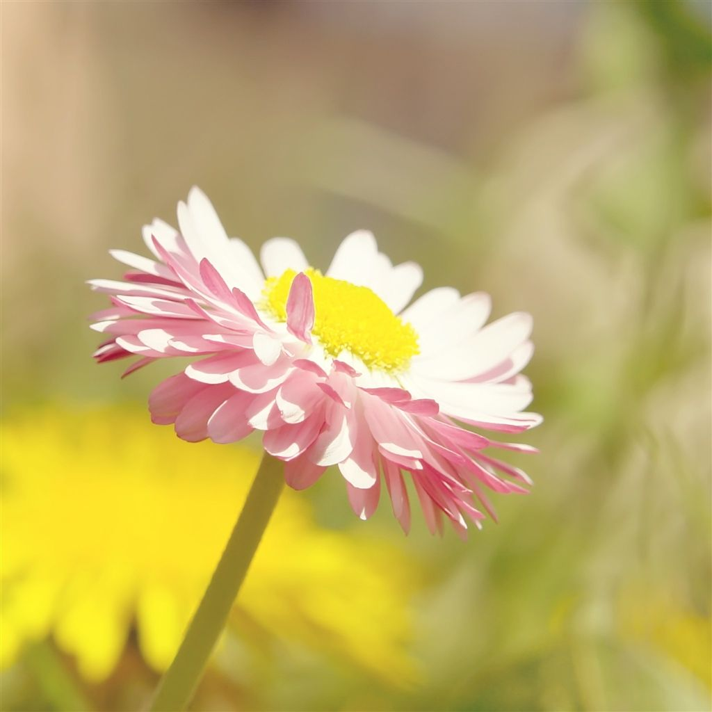 Pure Bright Sunshine Bright Pure Daisy Flower Macro