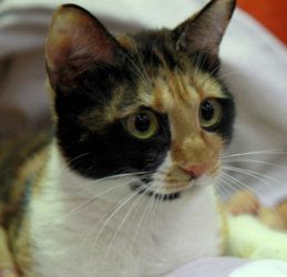Adopt Kitty On Petfinder Calico Cat Kitty Cats