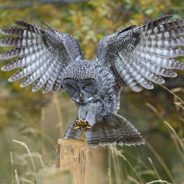 Instagram Post By Ryan Sheets Ryanjonsheets Great Grey Owl