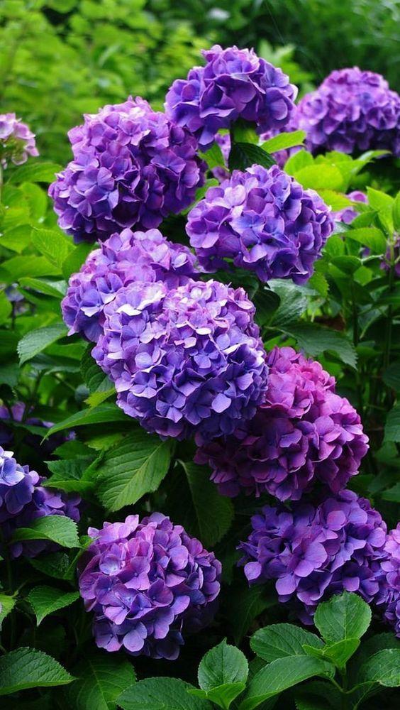 Hydrangeas Purple garden, Flowering shrubs, Small purple