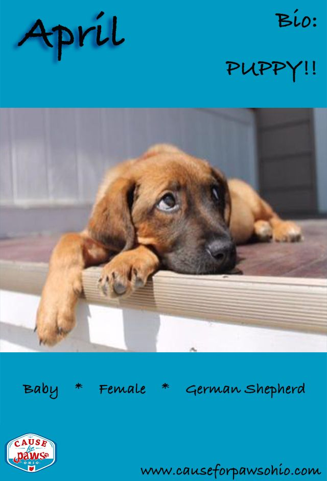 April is a sweet puppy looking for her forever family. You can find out more about April at causeforpawsohio.com.