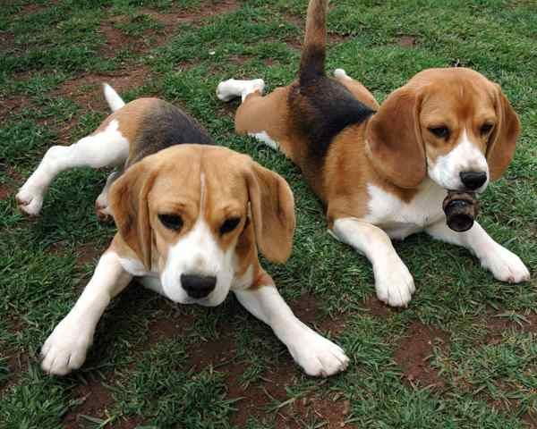 Australian Cattle Dog Beagle Mix Yaoqunsz Images Gallery