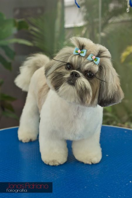 Http Www Groomingplace Com Br Blog 2012 03 02 Tosa Da Semana Happy Cute Animals Dog Grooming Styles Shih Tzu