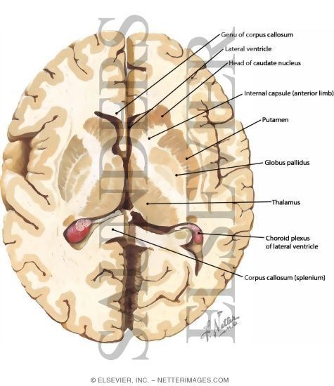 basal ganglia - axial view | lecture 8 | Pinterest