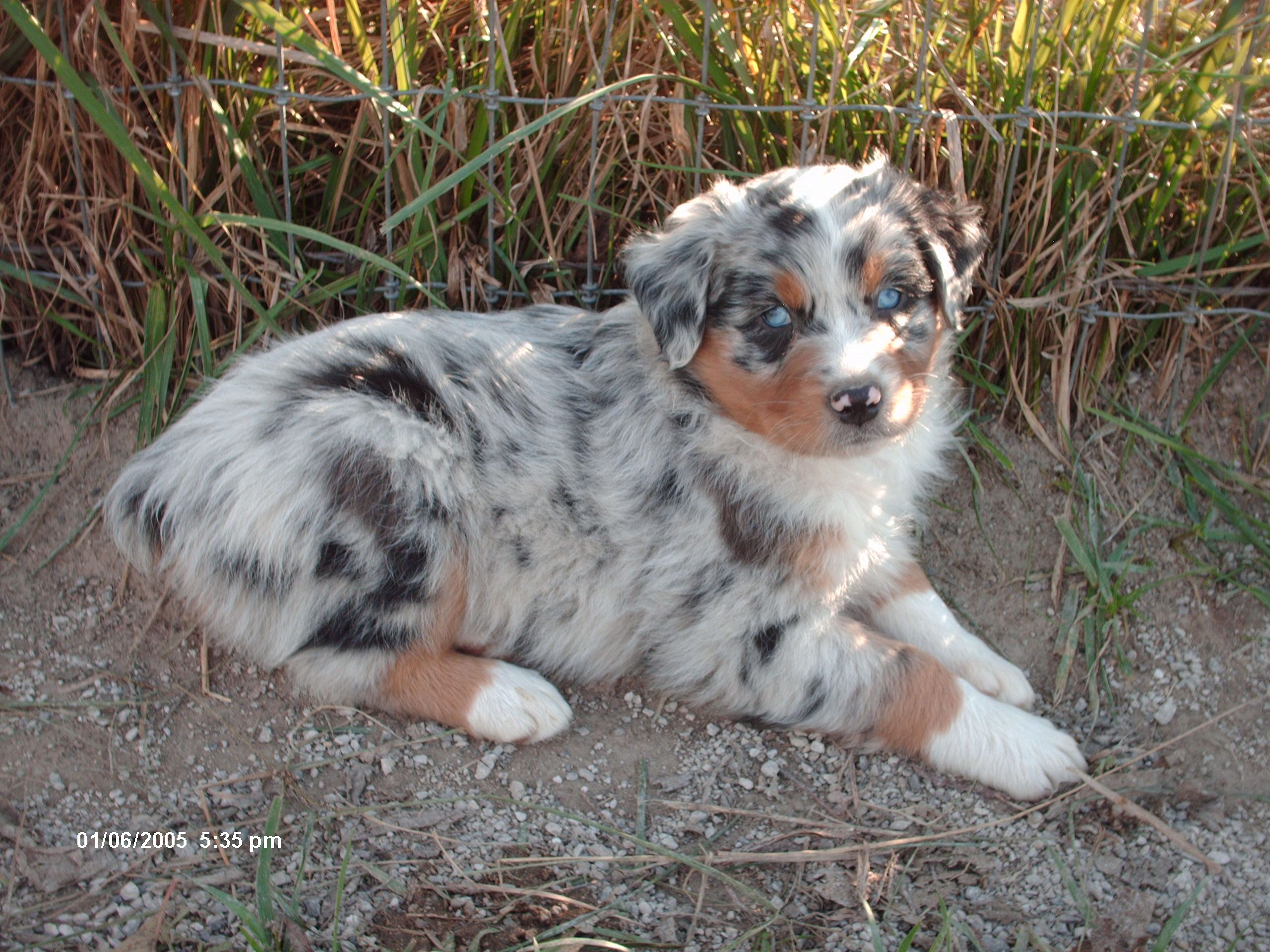 Blue Merle Aussie No White Google Search Puppy Dog Photos Animals Dog Pictures