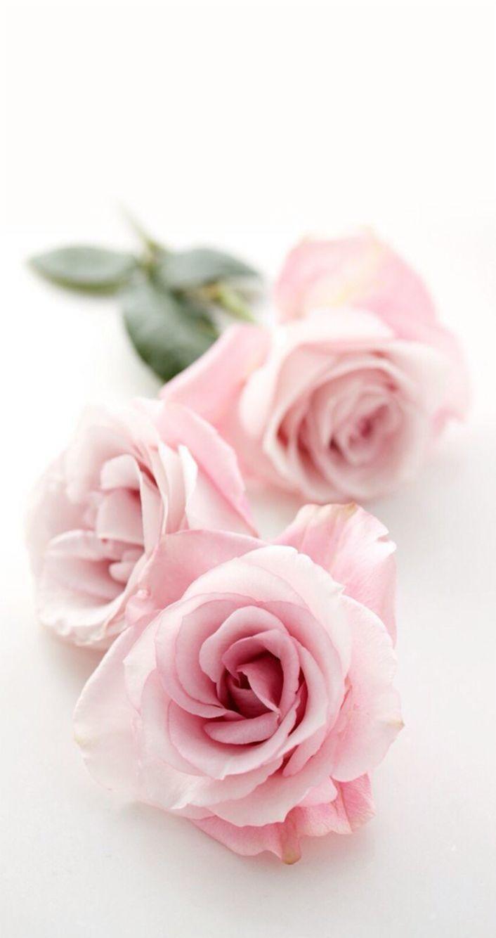 Pink rose wallpaper iphone 7 best iphone wallpaper - Pink rose wallpaper iphone ...