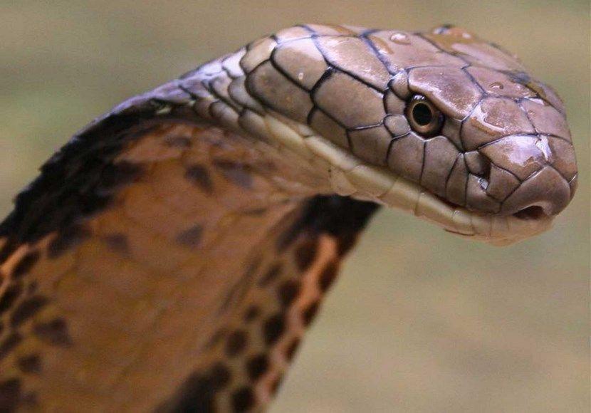 Atrapan una serpiente pitón gigante en los Everglades - http://www ...