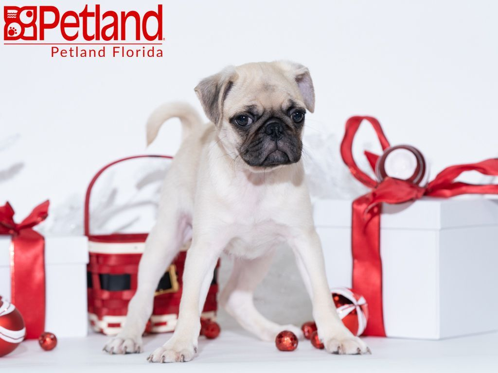 Petland Florida has Pug puppies for sale! Check out all