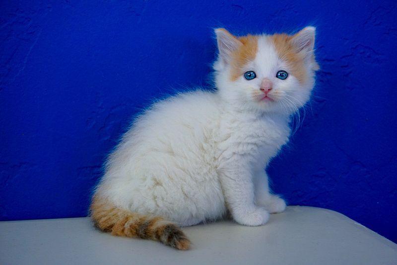 Ragdoll Kittens For Sale Near Me Ragdoll Kitten Ragdoll Kittens For Sale Kitten For Sale
