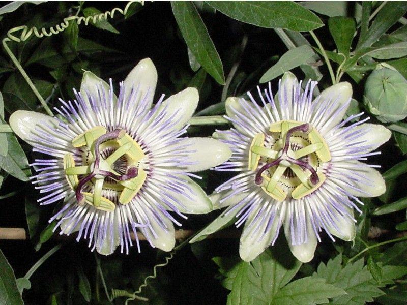 Passiflora Caerulea Passiflora Caerulea Passion Flower Passiflora