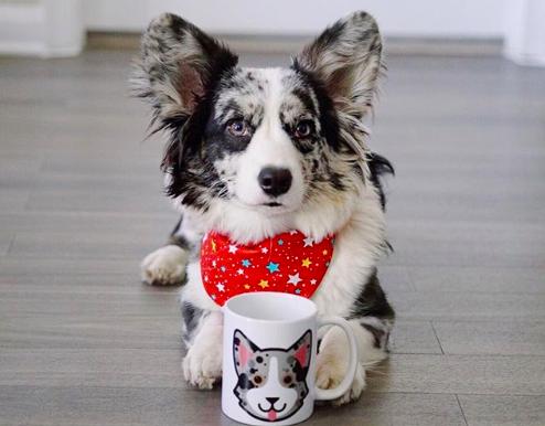 Fluffy Cardigan Corgi Cute Corgi Puppy Corgi Cardigan Corgi Puppies