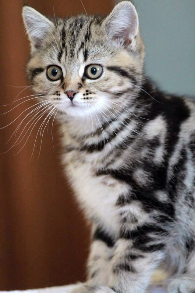 Scottish Straight Kitten Scottish Fold Kittens Cat Scottish