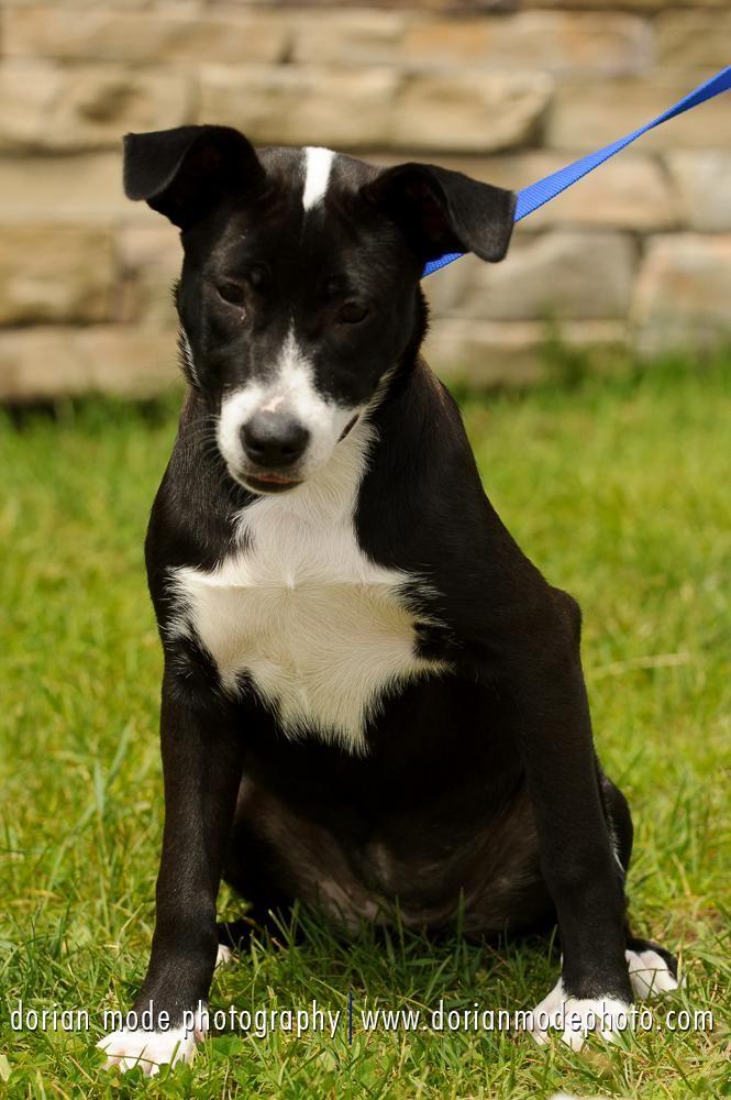 Adopt Beatrice on Puppy adoption, Labrador retriever