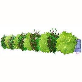 Un véritable écran végétal formé de 2 arbustes au feuillage ...