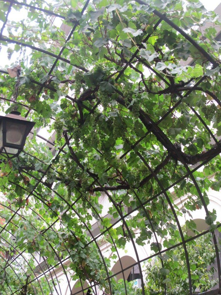 tips grape vine trellises tips for grape vine trellis stuypark