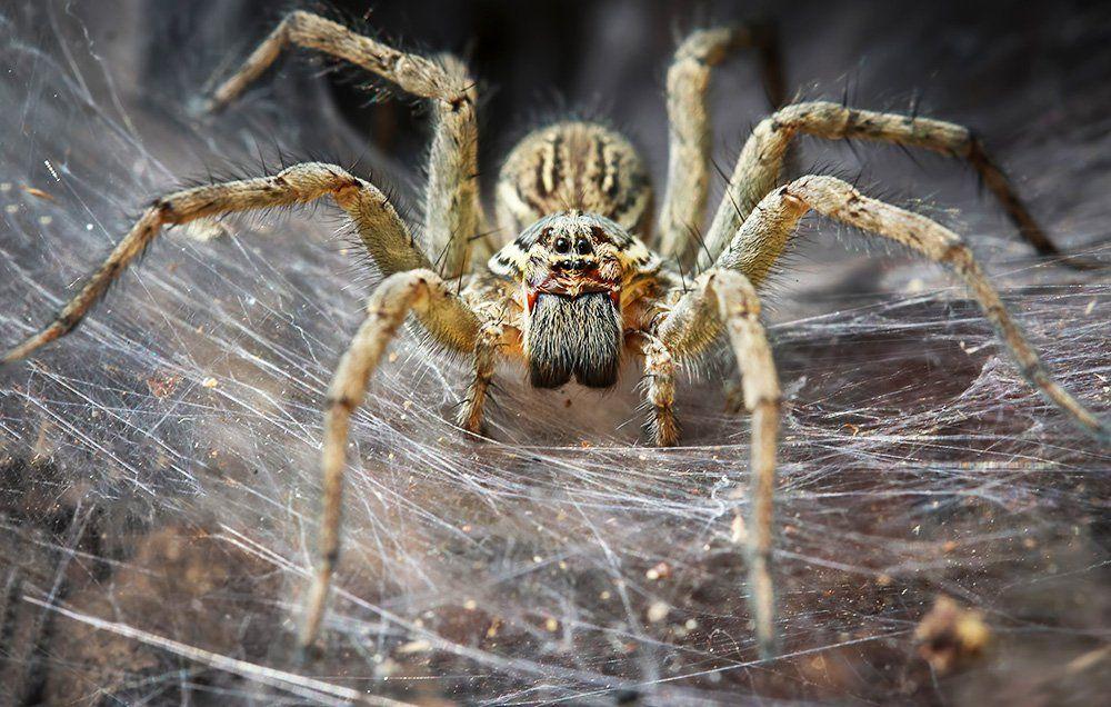 Aranhas poderiam comer todos os humanos em um ano