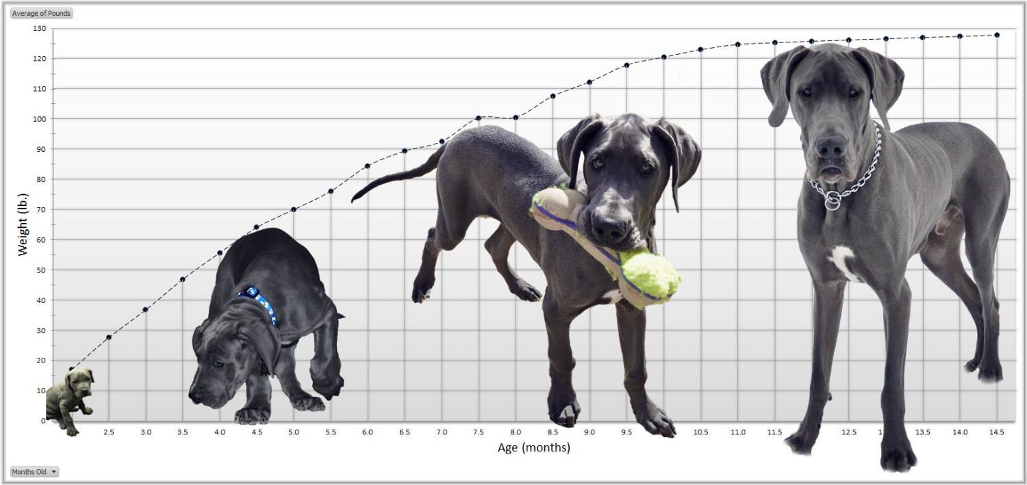 Great dane growth chart google search for the dogs pinterest dog great dane growth chart geenschuldenfo Image collections