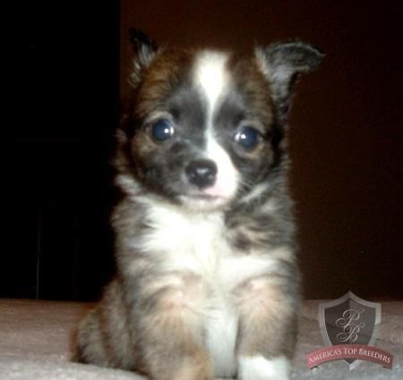 Gizmo The Male Chihuahua Tennessee Chihuahua Breeders