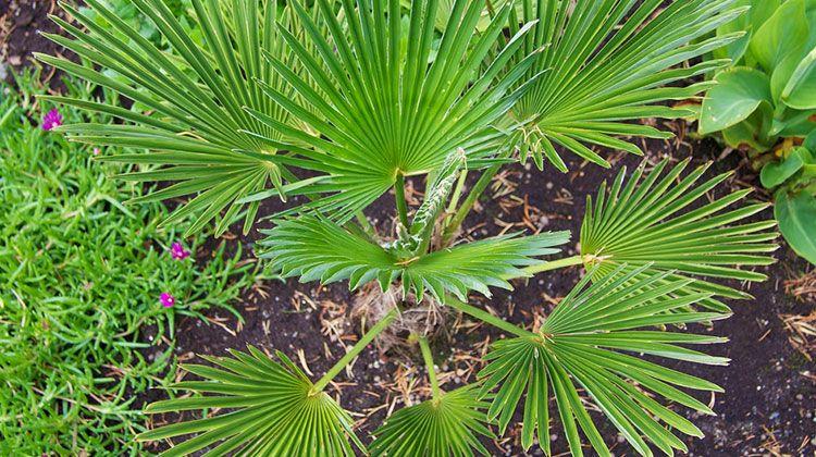 Winterharte Palmen Welche Palmenarten Sind Die Besten In 2020 Winterharte Palmen Palmenarten Winterhart