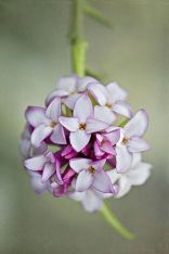 Daphne-Flowers-2