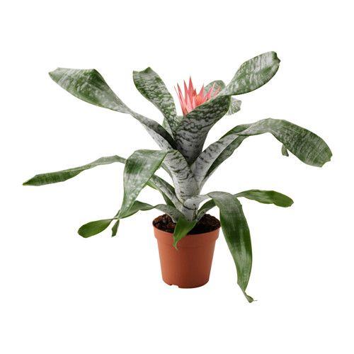 übertöpfe Für Zimmerpflanzen aechmea pflanze ikea grünpflanzen und übertöpfe im persönlichen