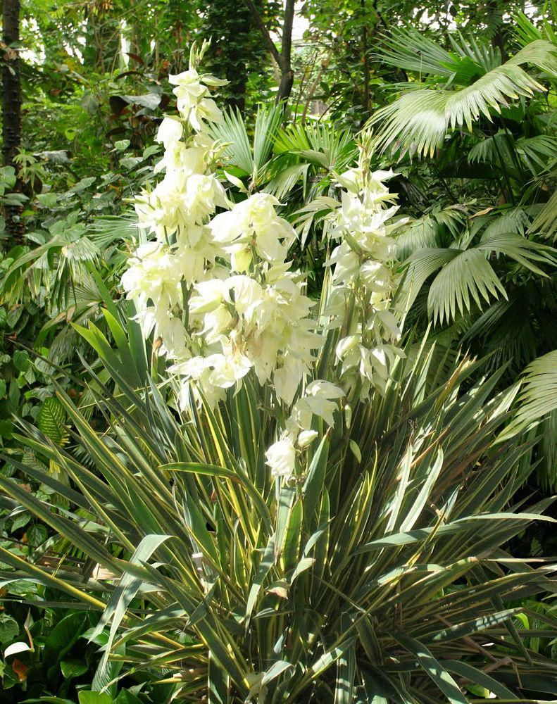 Yucca gloriosa culture taille bouture plantes for Bouture yucca exterieur