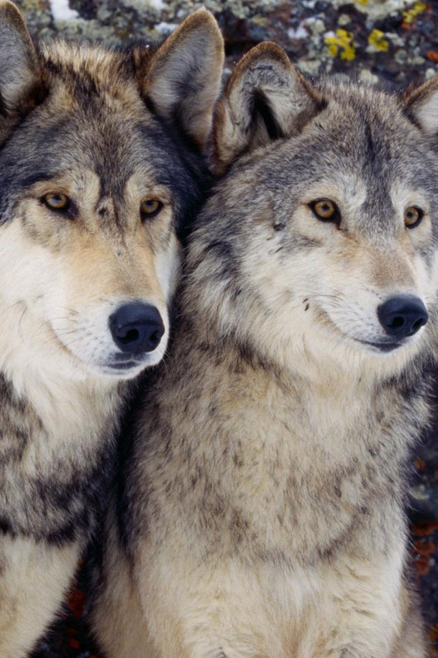 Let Us Be. Free. Save the Wolves.