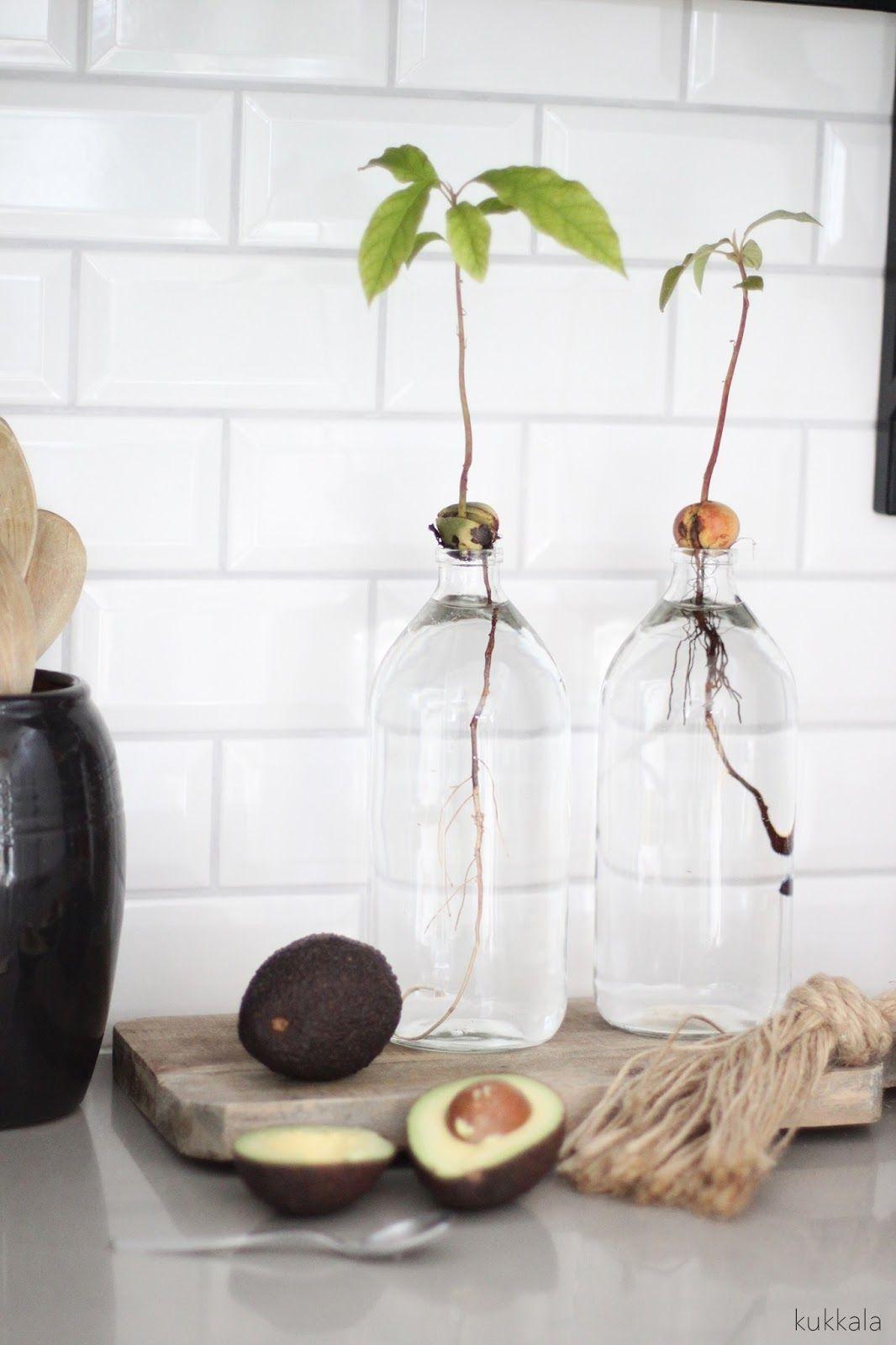 Avokado on niit perinteisi siemeni jotka hedelmn symisen avocado plant in water vase reviewsmspy
