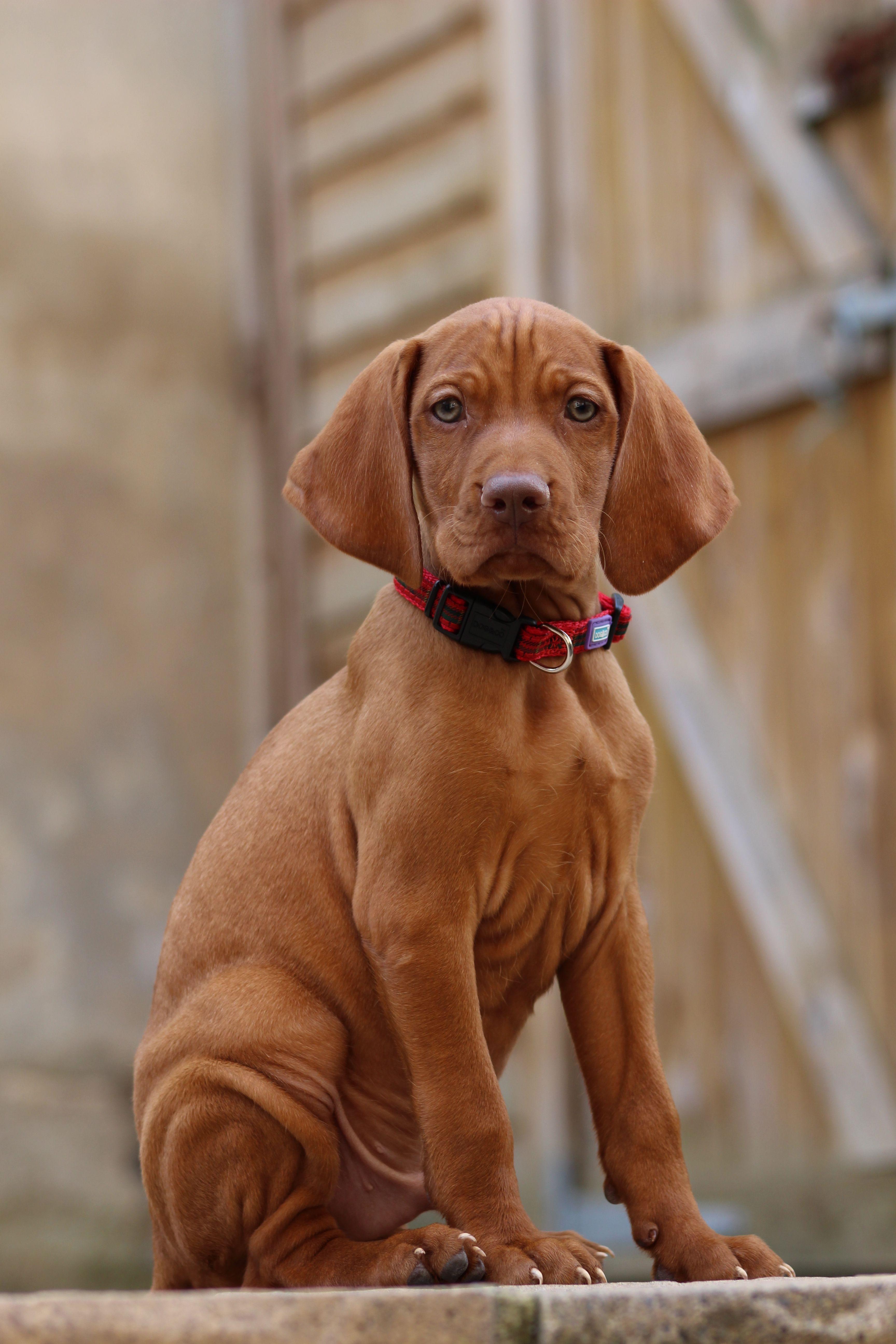 Vizsla Pup Vizsla Puppies Pet Dogs Vizsla