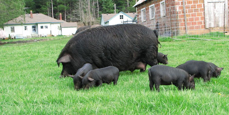 Pin On American Guinea Hog