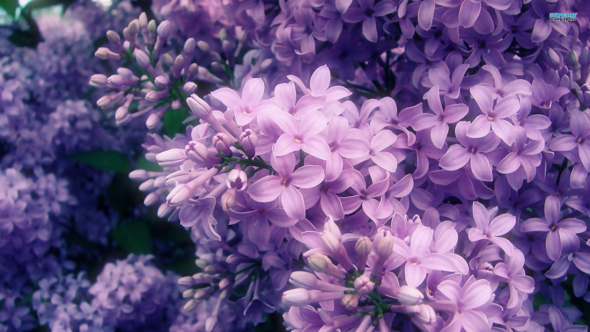 Lilac Lilac Wallpaper 1920x1080 Lilac Flowers Purple Flowers Purple Flowers Wallpaper