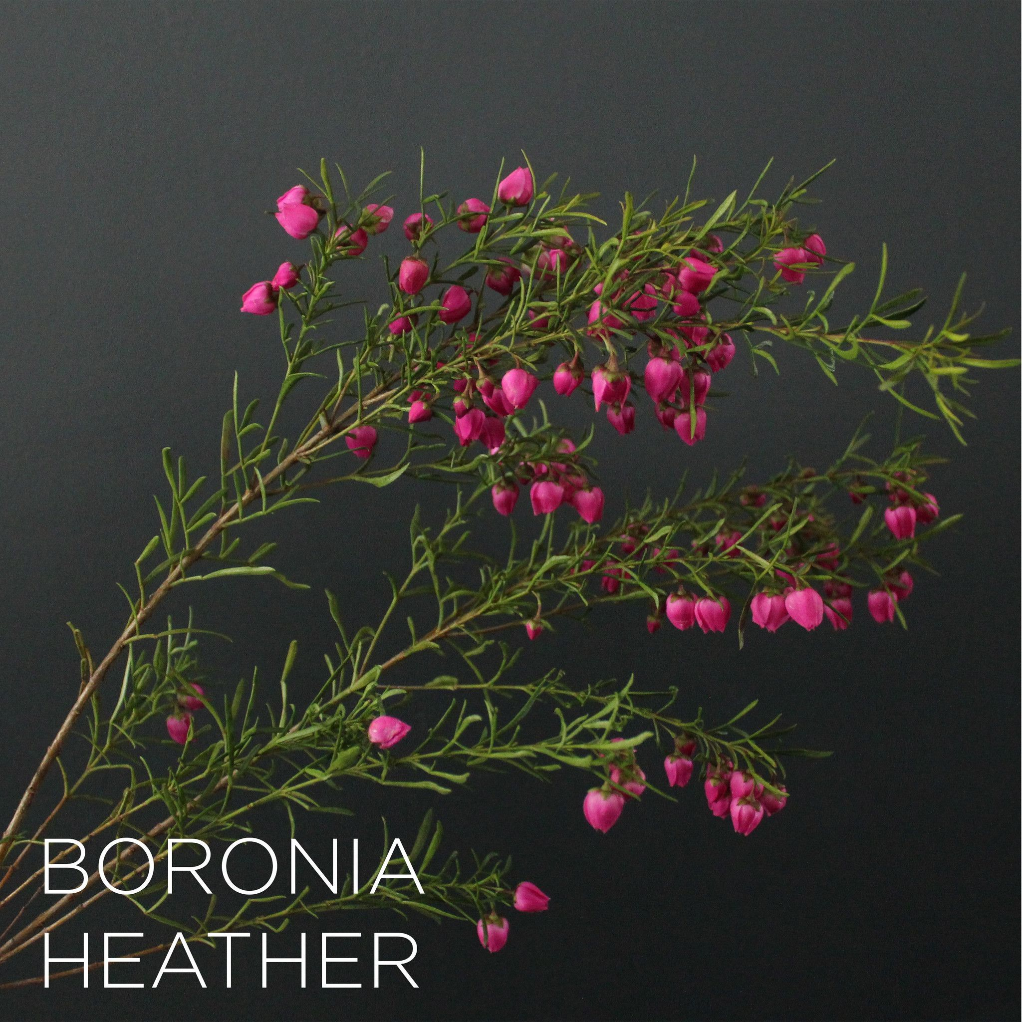 Boronia Heather Flower Guide Flower Names Flowers Photography