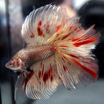 Betta Tropical Fish | Pin By Natalya Kaminskaya On Ryby Pinterest Betta Betta Fish And