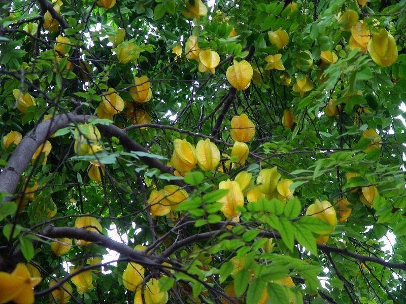 How To Grow Star Fruits Fruit Plants Fruit Trees In Containers Container Gardening Fruit