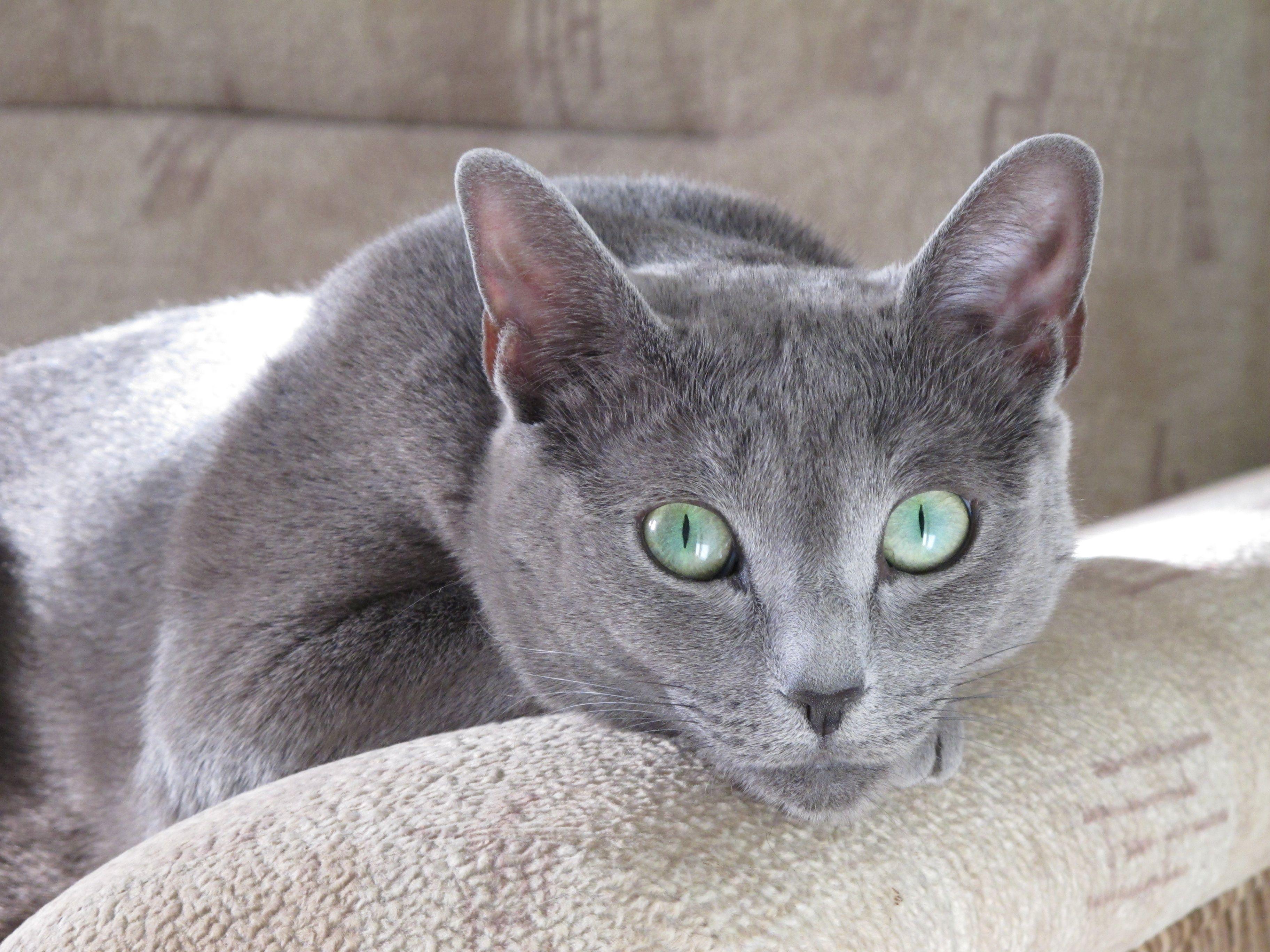 Russian Blue Cat Our Berta Russian Blue Russian Blue Cat Fluffy Kittens
