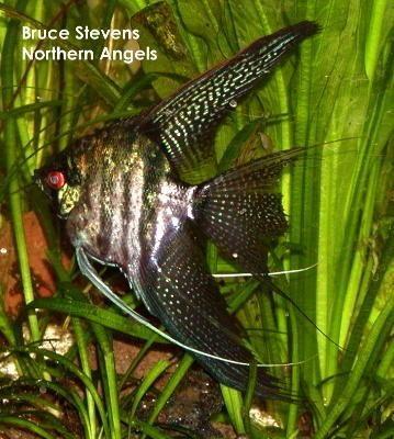 The Angelfish Society Phenotype Library Zebra Lace Angel Fish Tropical Fish Aquarium Angel Fish Tank