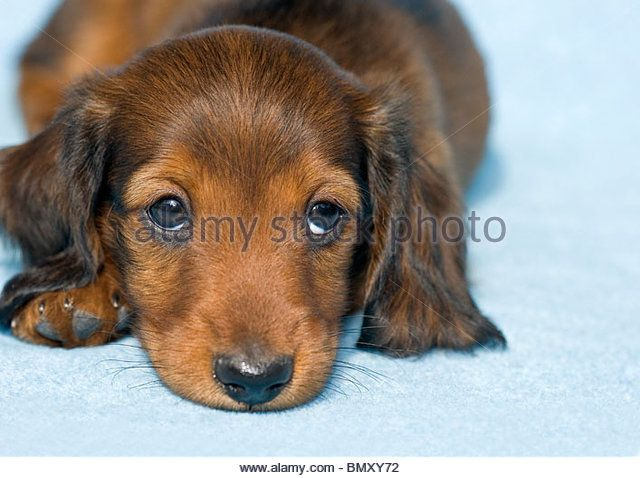 Long Haired Miniature Dachshund Puppy Lying Stock Image