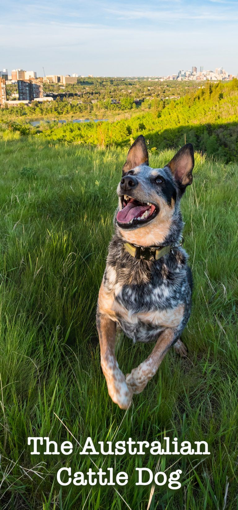 Blue Heeler A Complete Guide To The Australian Cattle Dog Blue