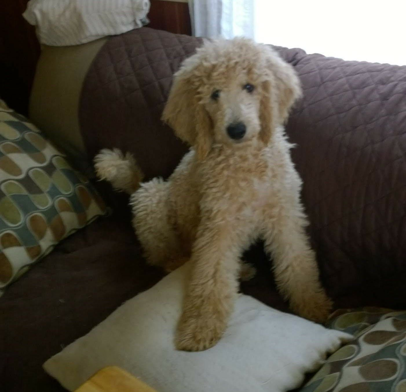 Blu A Female Standard Poodle Puppy From Emerald Coast Breeders